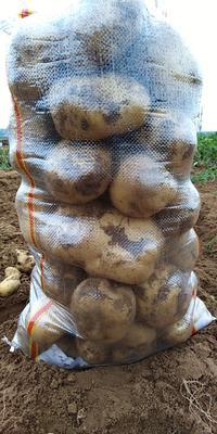 辽宁省葫芦岛市绥中县中薯5号土豆 2两以上