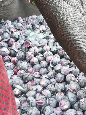 河北省张家口市怀安县紫甘蓝 2.5~3.0斤