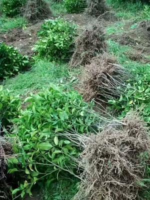 这是一张关于黑黄皮果苗的产品图片