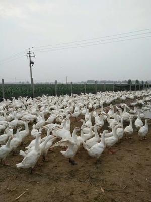 这是一张关于三花杂交鹅苗的产品图片