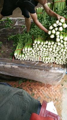 陕西省榆林市靖边县法国皇后芹菜 55~60cm 露天种植 0.5~1.0斤