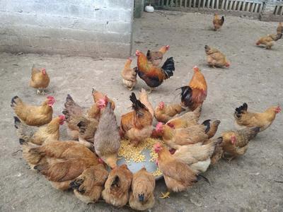 广西壮族自治区钦州市浦北县土鸡 母 3-4斤