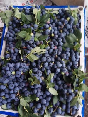 吉林省吉林市蛟河市北陆蓝莓 鲜果 10 - 12mm以上