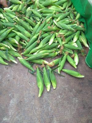 云南省红河哈尼族彝族自治州弥勒市万糯2000玉米 白粒 鲜货