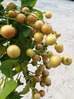 广西壮族自治区桂林市平乐县农家土黄皮 球型