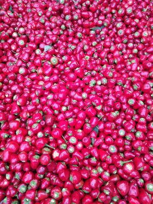 河南省周口市太康县草莓型烘椒 5~10cm 红色 中辣