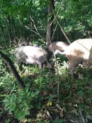 河南省驻马店市驿城区生态野猪 200-300斤 公