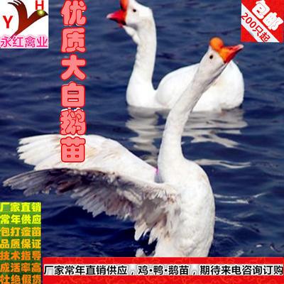 广西壮族自治区南宁市西乡塘区大白鹅苗