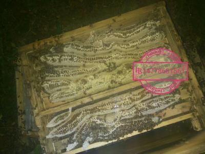 这是一张关于中华蜜蜂的产品图片