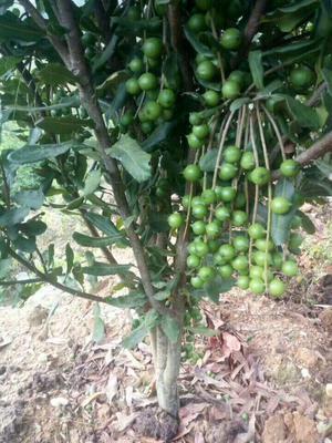这是一张关于澳洲坚果苗 嫁接苗 0.5~1米的产品图片