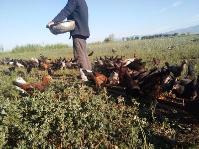 新疆维吾尔自治区伊犁哈萨克自治州新源县土鸡 统货 2-3斤