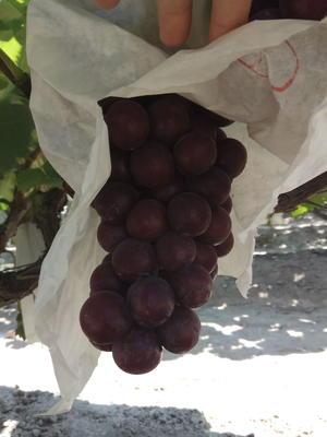 安徽省宿州市萧县夏黑葡萄 5%以下 1次果 2斤以上