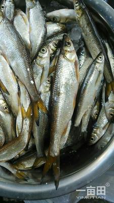 重庆北碚区白条鱼 野生 0.5公斤以下