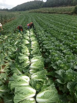 这是一张关于德高101大白菜 3~6斤 二毛菜的产品图片