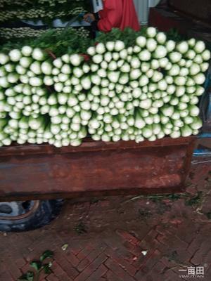 陕西省榆林市靖边县皇妃芹菜 55~60cm 露天种植 0.5~1.0斤