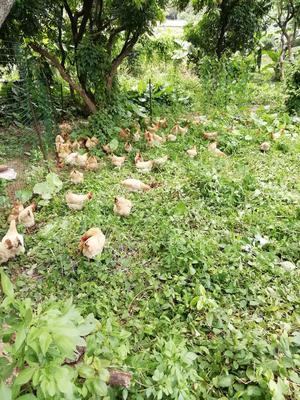 这是一张关于土鸡 母 3-4斤的产品图片