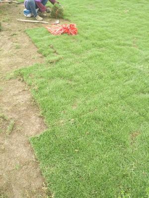 这是一张关于马尼拉草皮的产品图片