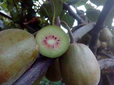 这是一张关于红心猕猴桃 70克以上的产品图片