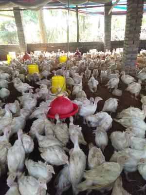 四川省德阳市广汉市白火鸡 2-5斤