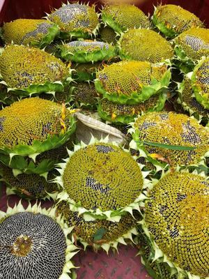陕西省西安市长安区向日葵 0.5~1米