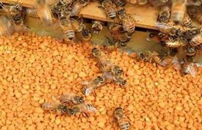 山东省潍坊市临朐县油茶花粉 6-12个月