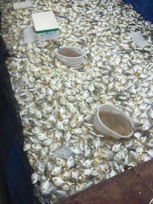 广西壮族自治区钦州市钦南区金鲳鱼 人工养殖 0.5龙8国际官网官方网站以下
