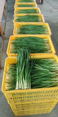 广东省佛山市南海区小叶韭菜 头茬 40~45cm