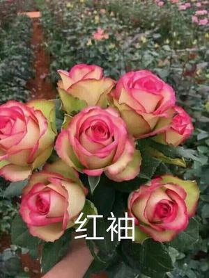 云南省昆明市晋宁县切花月季