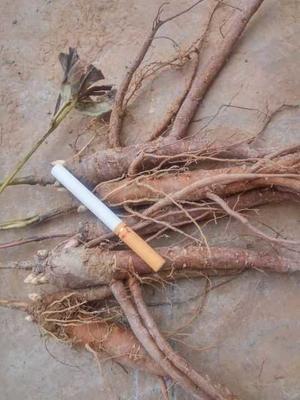 这是一张关于白芍种苗的产品图片