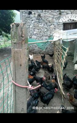 这是一张关于土鸡 母 4-5斤的产品图片