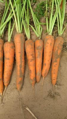 陕西省榆林市定边县大红萝卜 1.5~2斤