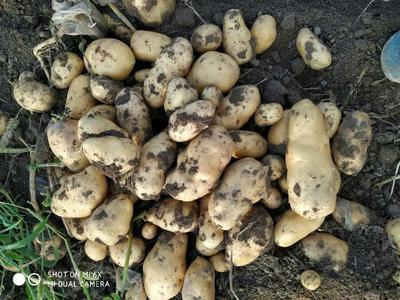 这是一张关于威玉5号土豆 2两以上的产品图片