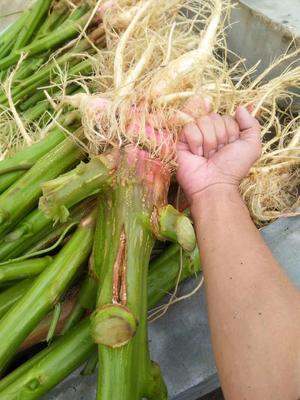 广东省深圳市龙岗区红苋菜 30-40cm 鲜绿