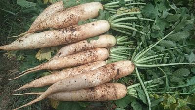 贵州省毕节市黔西县白萝卜 2~2.5斤