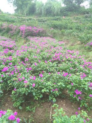 四川省宜宾市翠屏区紫花三角梅 0.2~0.5米