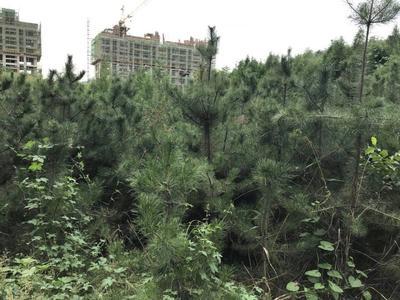 陕西省铜川市印台区黑皮油松