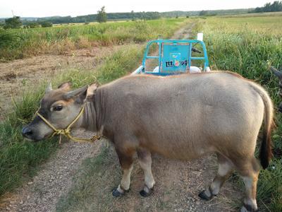 安徽省滁州市凤阳县水牛 200-300斤 公牛