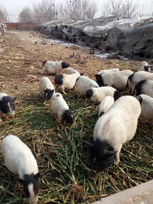 山东省潍坊市寿光市巴马香猪 60斤以上
