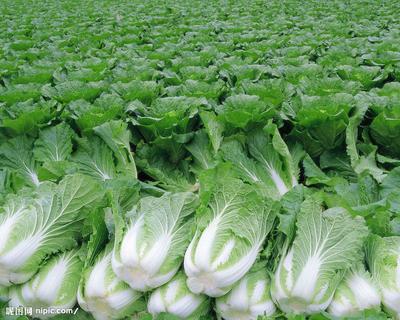 吉林省长春市农安县黄心大白菜 3~6斤 净菜