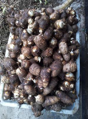 山东省潍坊市安丘市芋头8520 4cm以上
