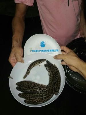 广东省广州市花都区生鱼苗