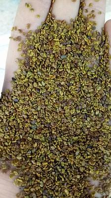 这是一张关于红花草的产品图片