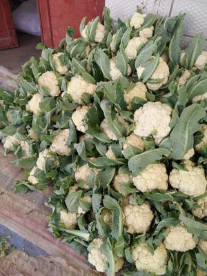 河南省开封市祥符区雪玉菜花 紧密 2~3斤 米黄色