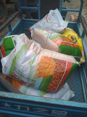 河南省新乡市延津县小麦种子