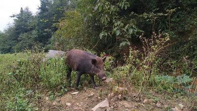 贵州省黔东南苗族侗族自治州从江县生态野猪 80斤以上 统货
