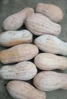 贵州省毕节市大方县金韩蜜本南瓜 6~10斤 长条形