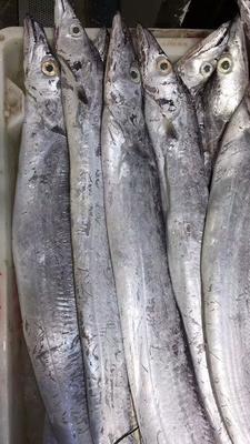 浙江省舟山市普陀区舟山带鱼 野生 0.5公斤以下