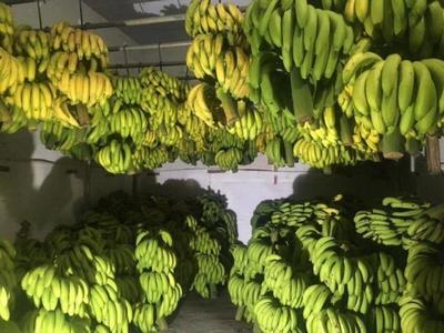 广东省茂名市信宜市广东香蕉1号 七成熟 40斤以下
