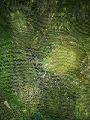 江苏省连云港市赣榆区牛蛙