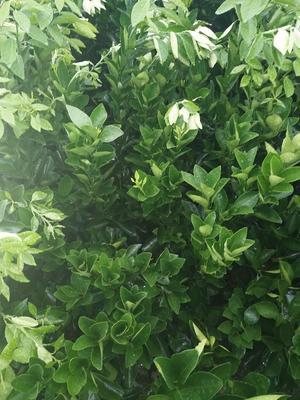 广西壮族自治区贺州市富川瑶族自治县纽荷尔脐橙苗 嫁接苗 0.5米以下